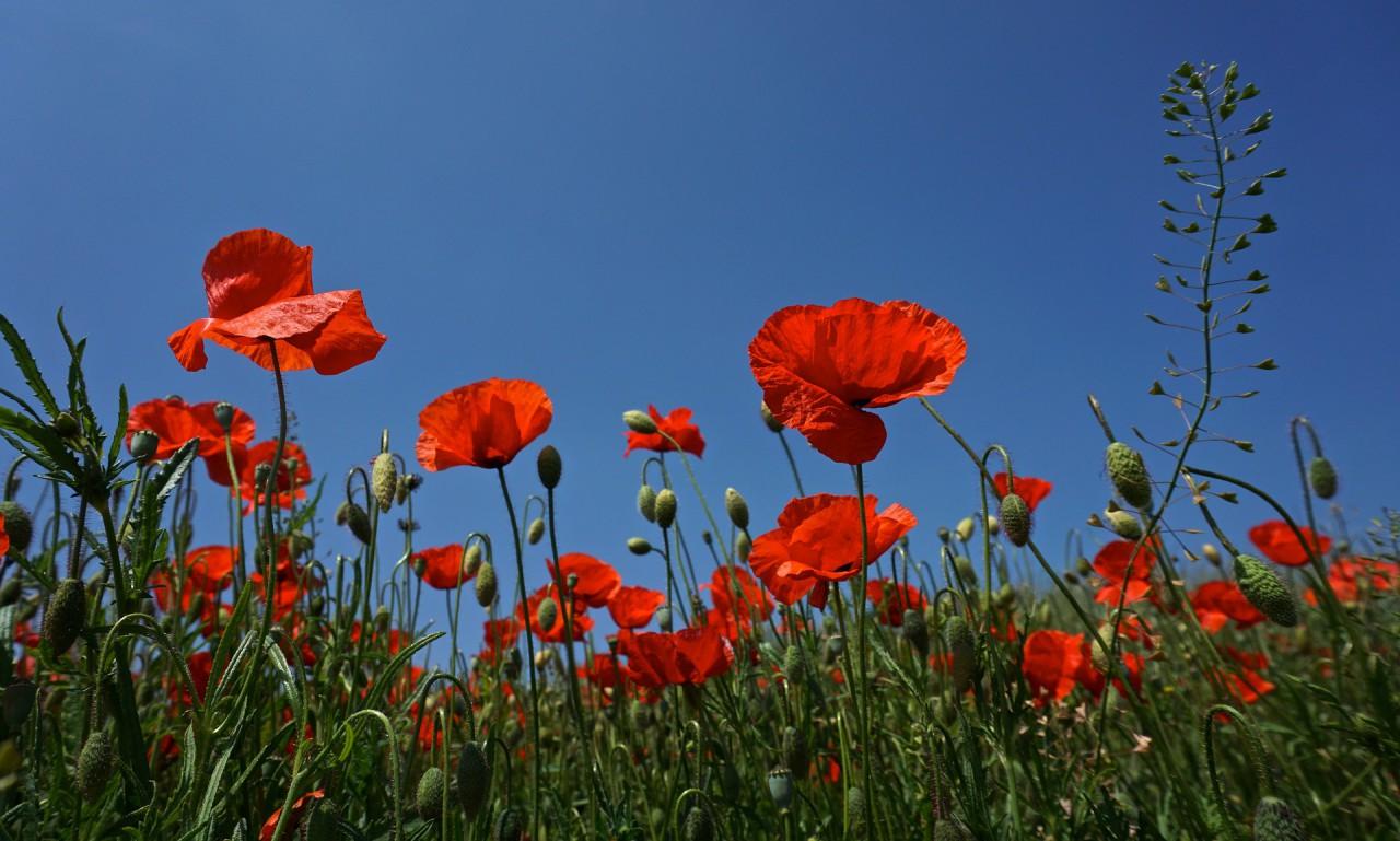 poppy-2381645_1920.jpg