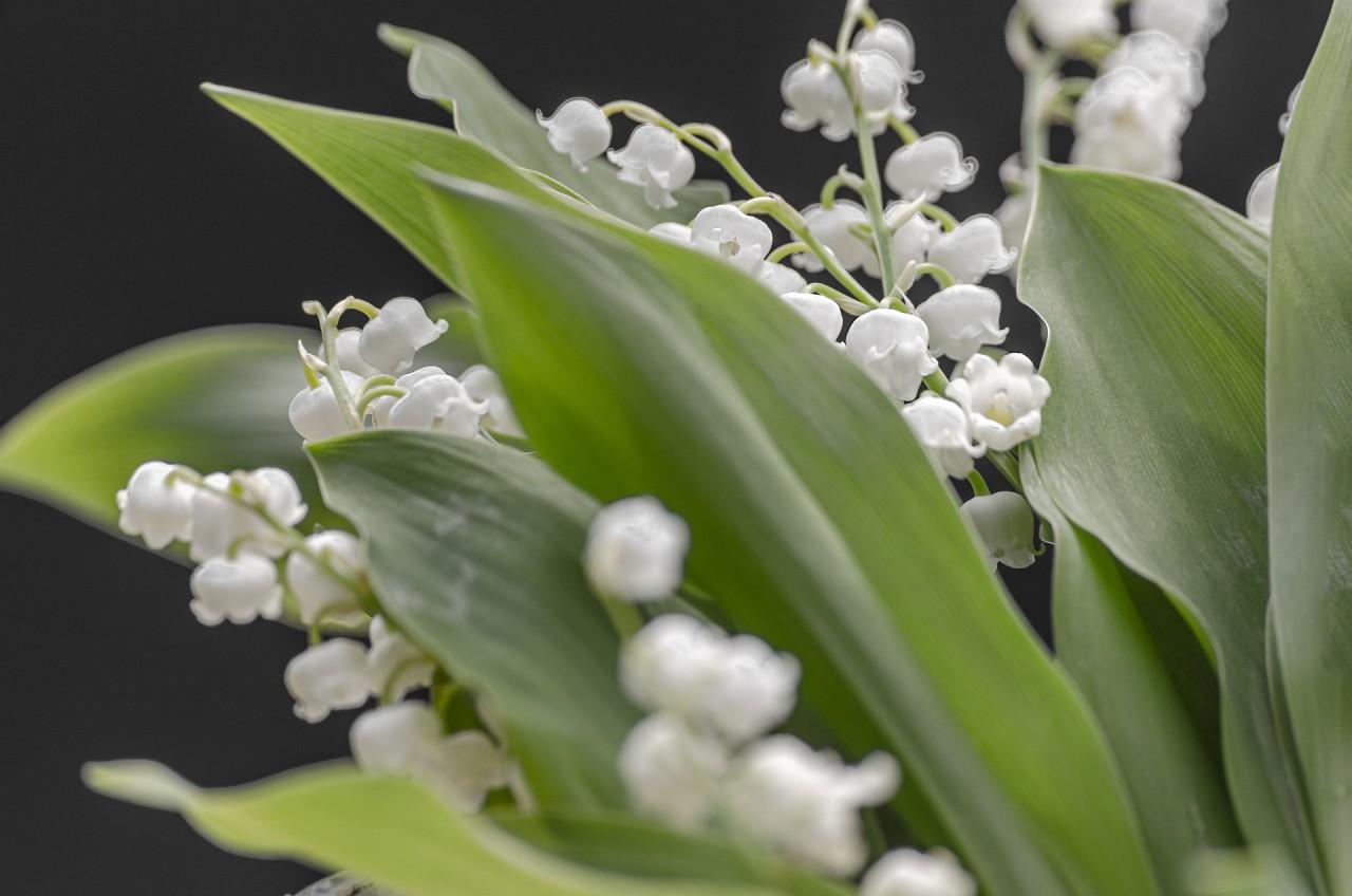 may-lily-5124927_1920.jpg